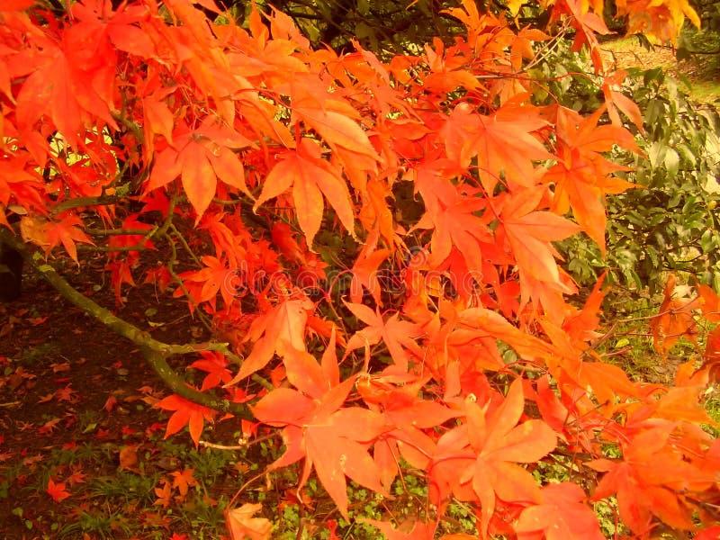 Belle couleur d'automne des feuilles d'érable photo stock
