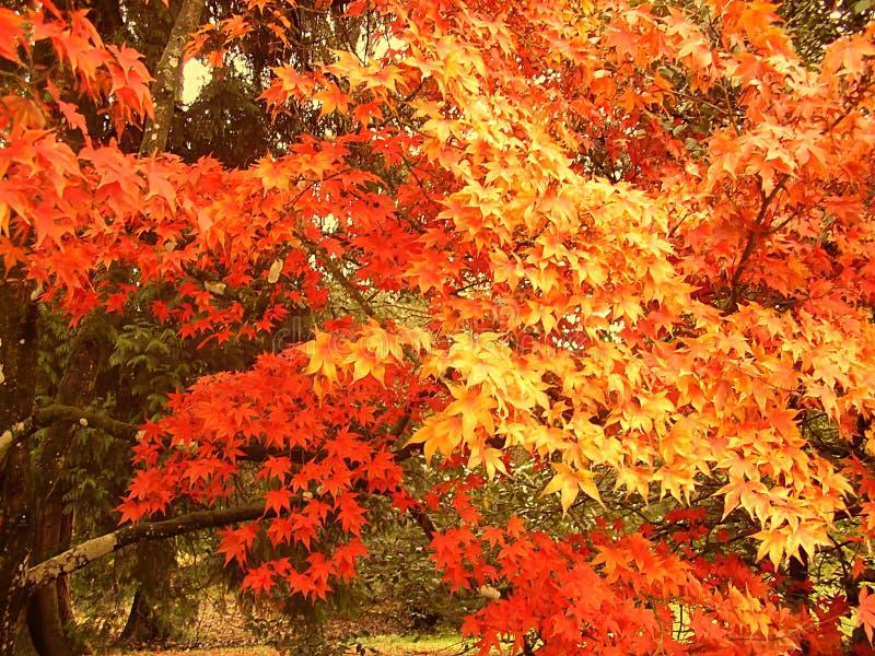 Belle couleur d'automne des feuilles d'érable images libres de droits