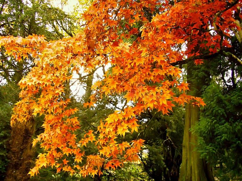 Belle couleur d'automne des feuilles d'érable photo libre de droits