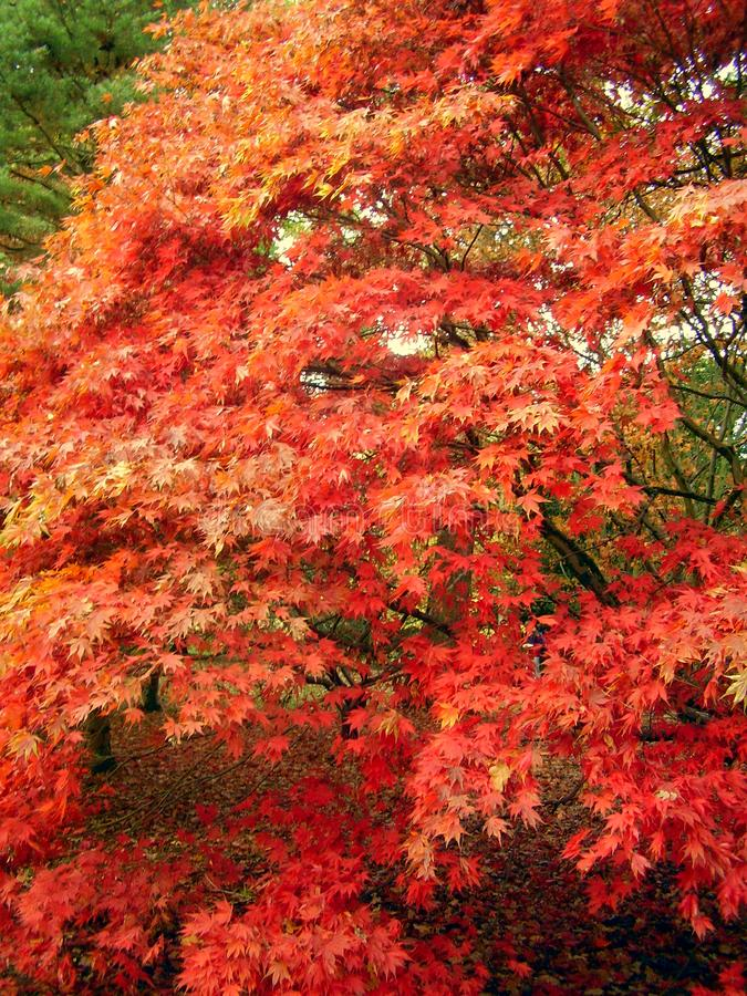 Belle couleur d'automne des feuilles d'érable image stock