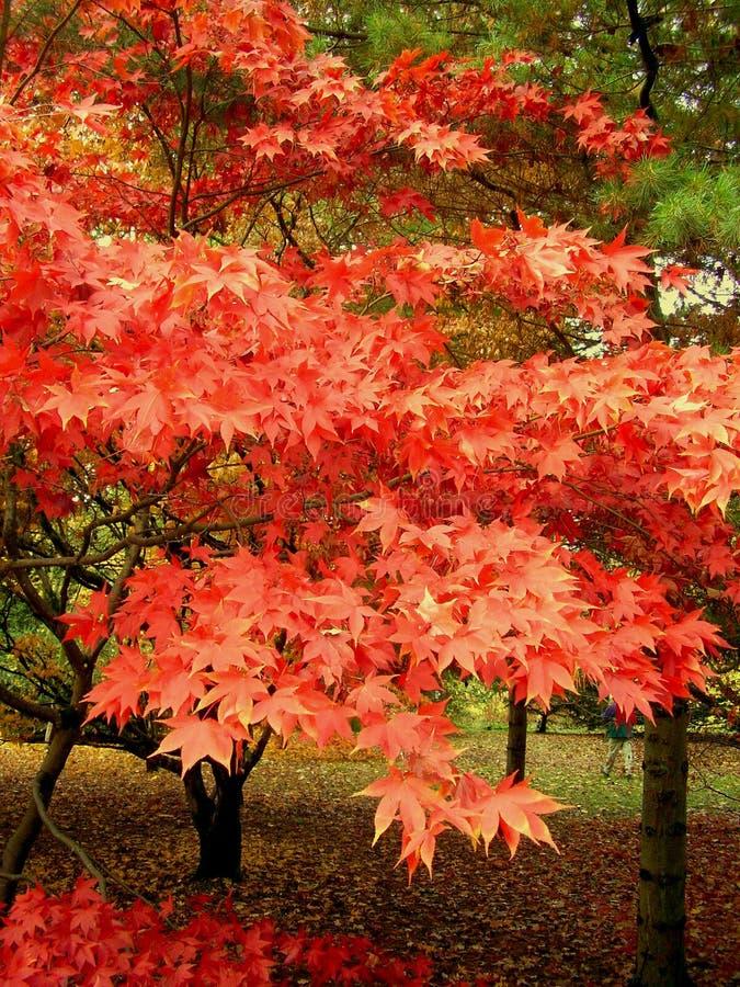 Belle couleur d'automne des feuilles d'érable images stock