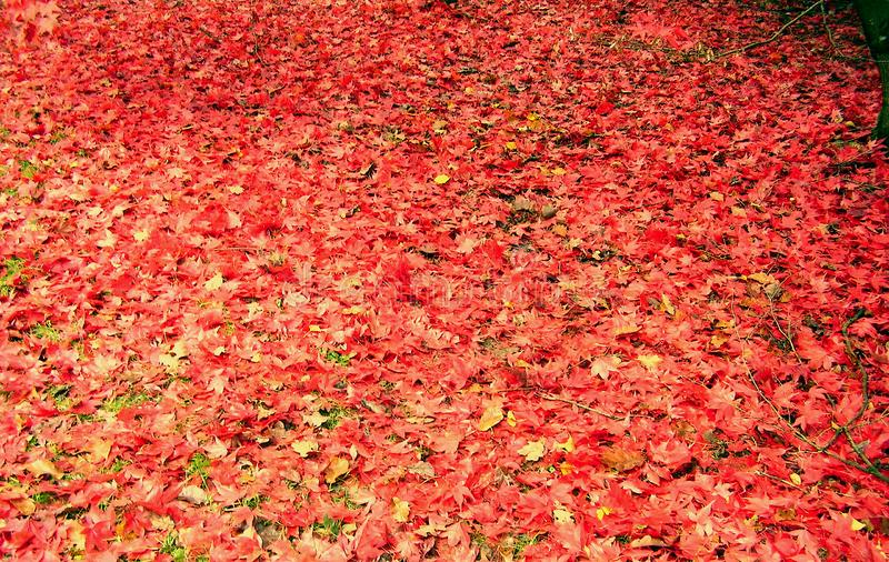 Belle couleur d'automne des feuilles d'érable photographie stock libre de droits