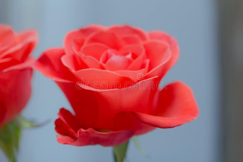 Download Belle Couleur De Corail Rose De Floraison Image stock - Image du été, orientation: 56484139