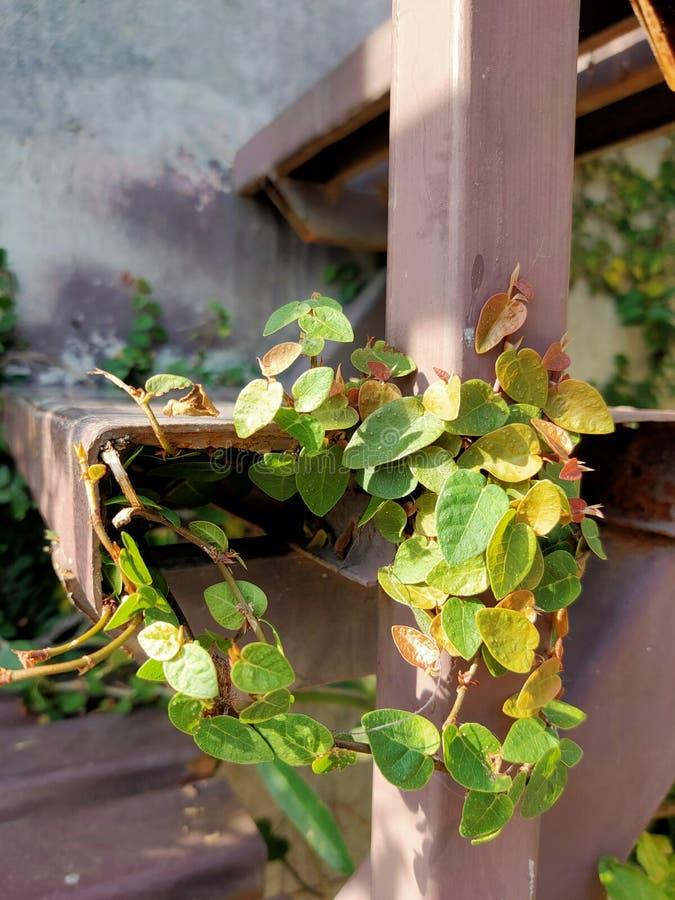 Belle couleur de petit Greentree au fond de l'escalier photographie stock libre de droits