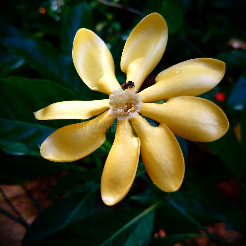 Belle couleur romantique de jaune de fleur avec l'abeille obtenant le pollen photo libre de droits