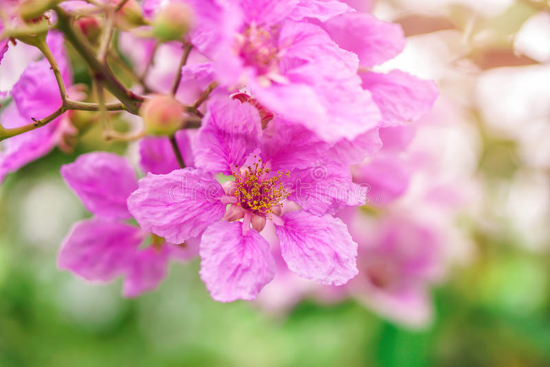 Belle crêpe le Myrte rose du ` s de reine de fleur photographie stock libre de droits