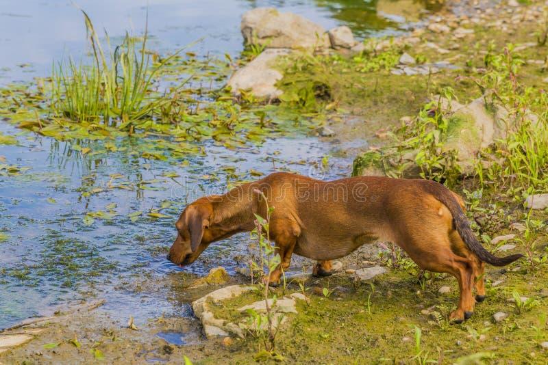 Belle eau potable de chien de saucisse d'une rivière images stock