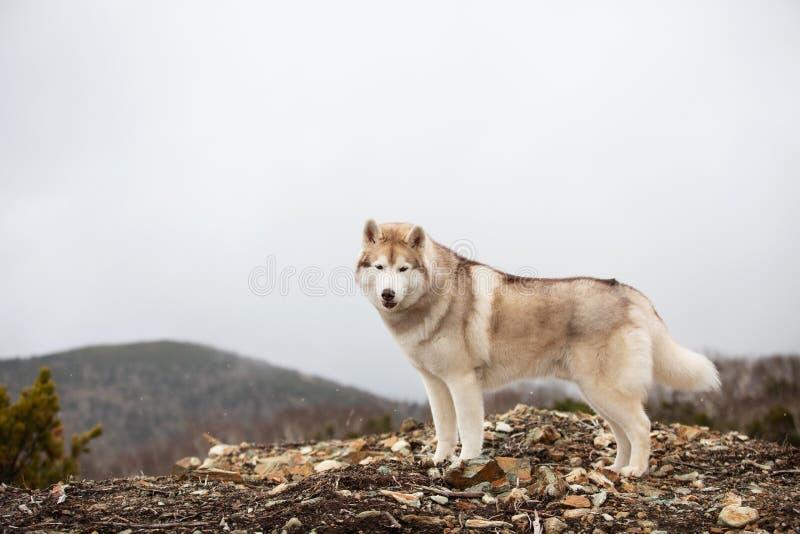 Belle et heureuse position enrouée sibérienne beige et blanche de chien sur la montagne Un chien sur un fond naturel images stock