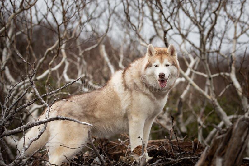 Belle et heureuse position enrouée sibérienne beige et blanche de chien sur la montagne Un chien sur un fond naturel photographie stock libre de droits