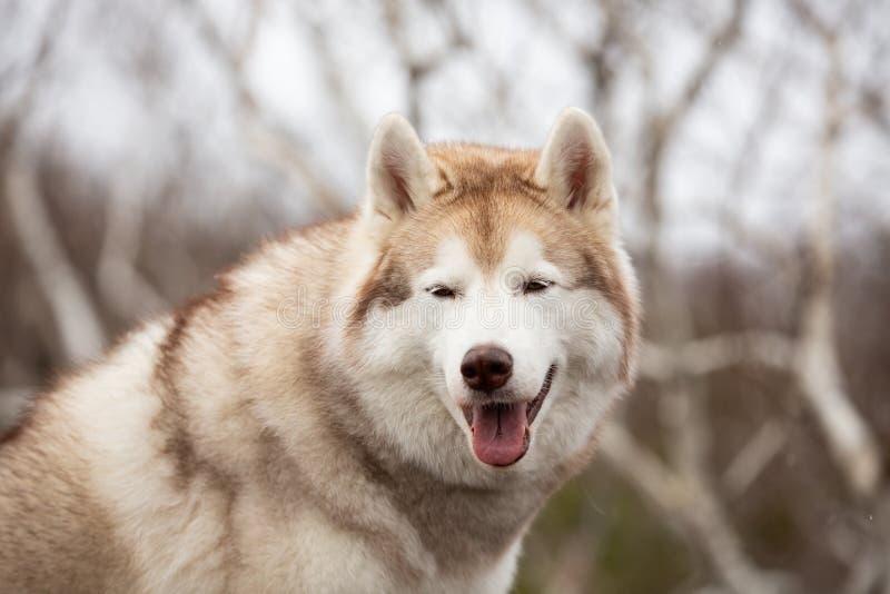 Belle et heureuse position enrouée sibérienne beige et blanche de chien sur la montagne Un chien sur un fond naturel photo stock