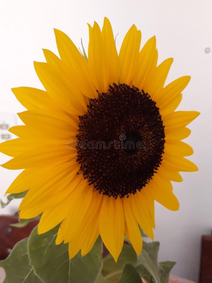 Belle et isolée fleur de tournesol photos stock