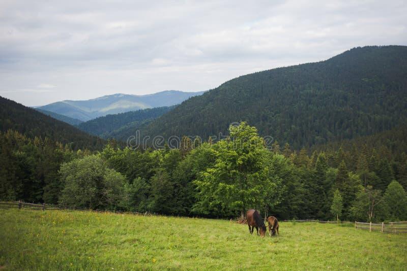 Belle famille des chevaux bruns images stock