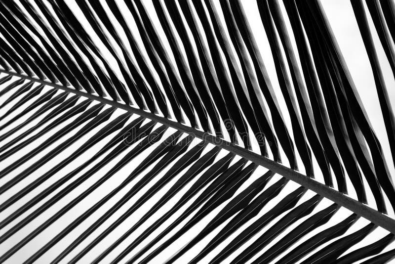 Belle feuille de palmier noire et blanche abstraite photo stock