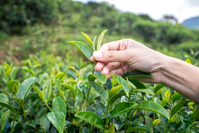 Belle feuille de thé asiatique de cueillette de fille dans la plantation de thé photos libres de droits
