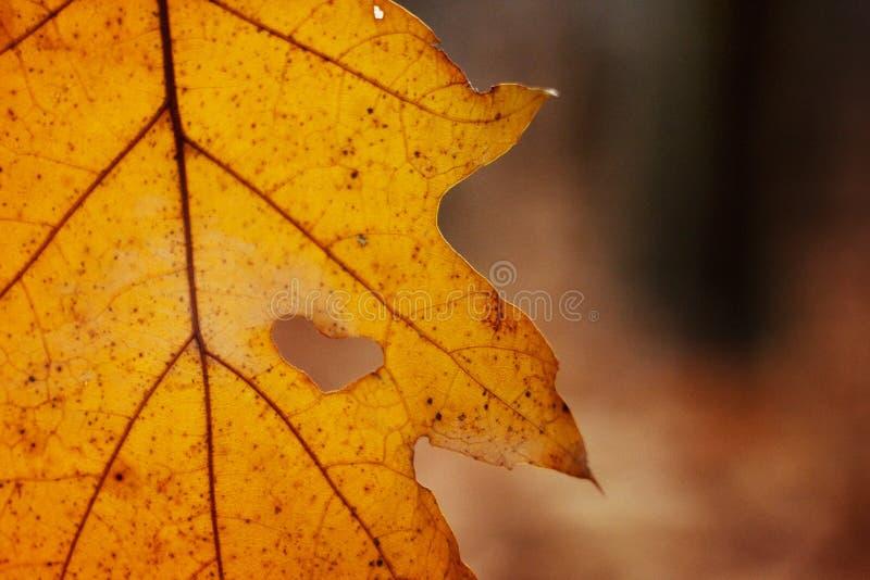 Belle feuille jaune d'automne avec la larme en forme de coeur accrochant sur t image stock