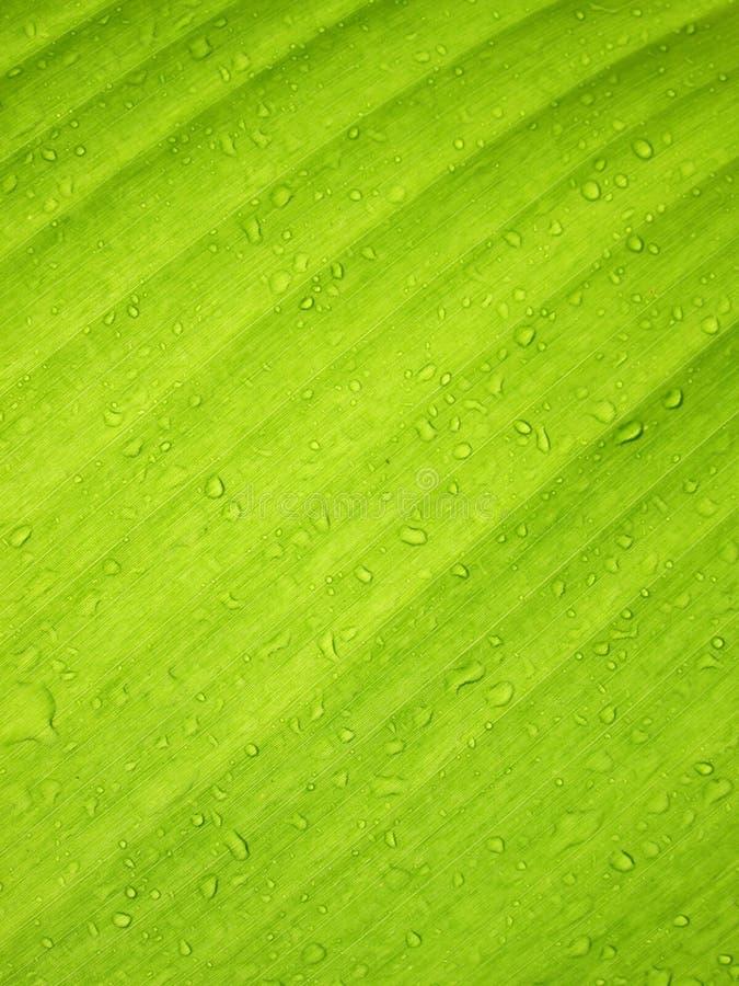 Belle feuille verte de banane avec des baisses de l'eau photos libres de droits
