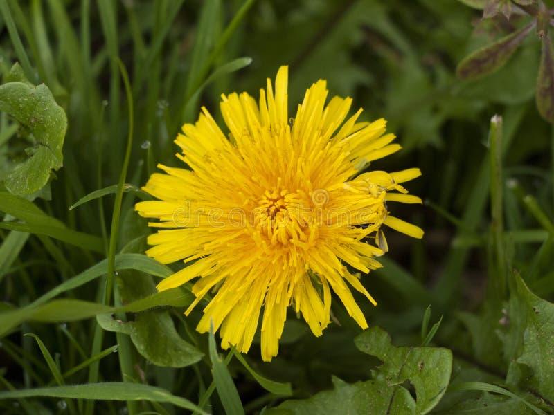 Belle fin de grande fleur jaune de fleur d'été de pissenlit photographie stock