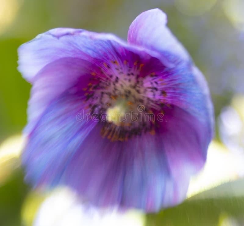 Belle fin de pavot bleu de l'Himalaya image libre de droits