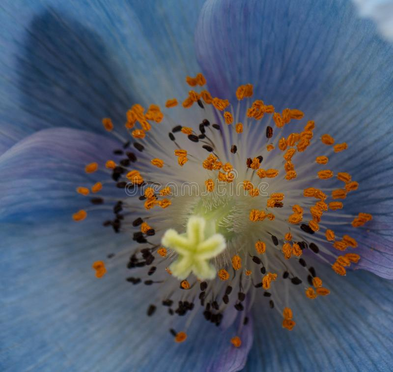 Belle fin de pavot bleu de l'Himalaya images libres de droits