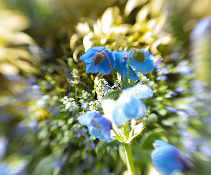 Belle fin de pavot bleu de l'Himalaya image stock