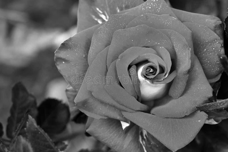Belle fin de rose P?kin, photo noire et blanche de la Chine photos stock