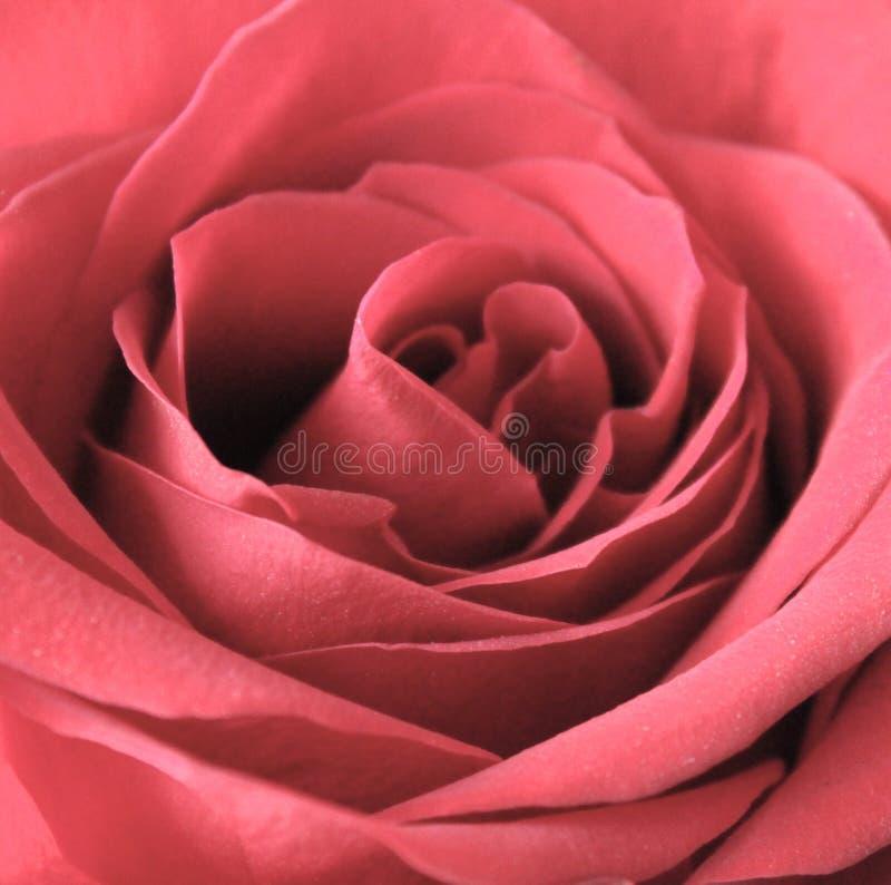 Fin de rose de rouge vers le haut photographie stock