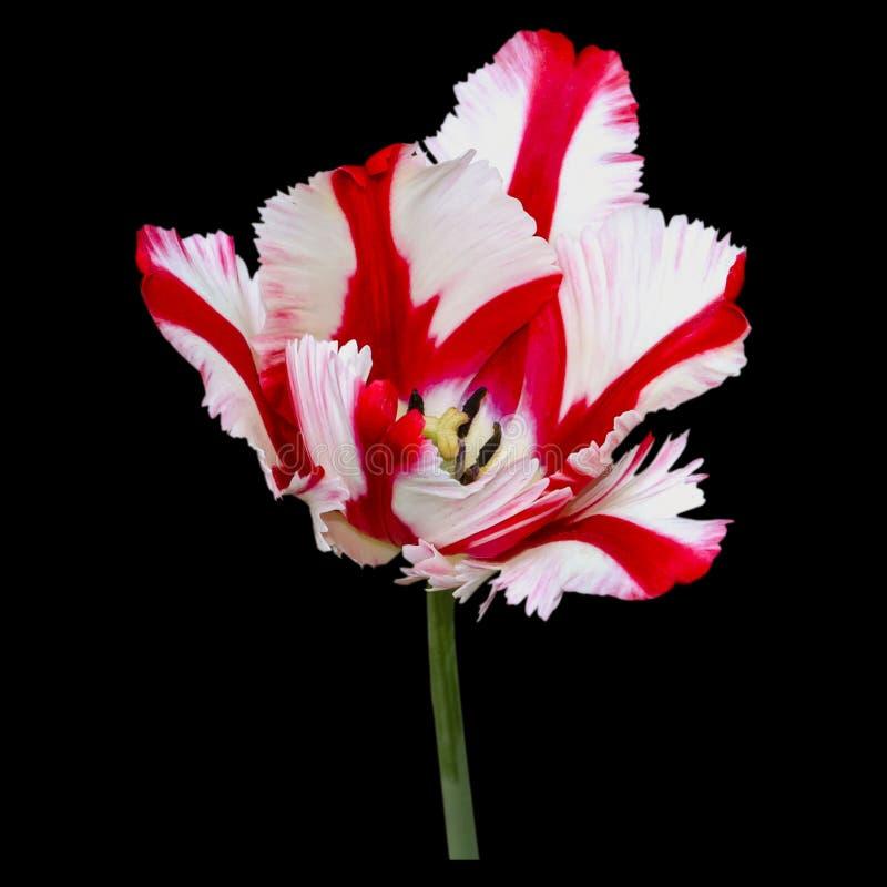 Belle fin de tulipe  Juste plu en fonction photos stock