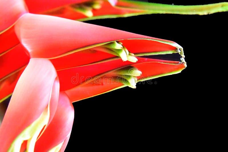 Belle fin exotique rouge de fleur au soleil image stock