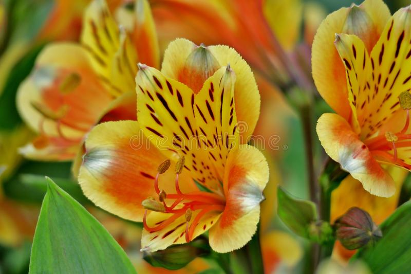 Belle fin jaune-orange peu commune de fleur  images stock