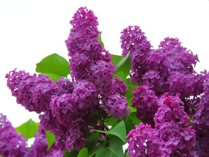 Belle fin lilas pourpre pelucheuse images libres de droits