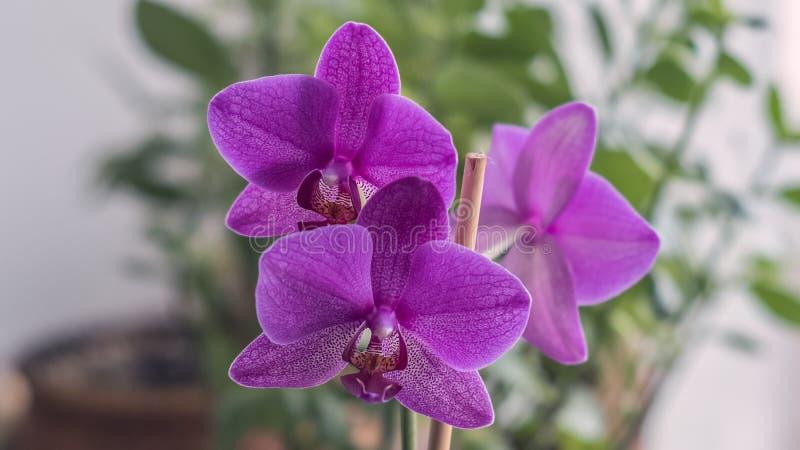 Belle fin pourpre de floraison d'orchidée  photo libre de droits