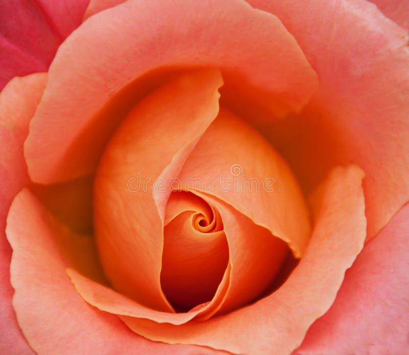 Belle fin rose de Rose vers le haut photos stock