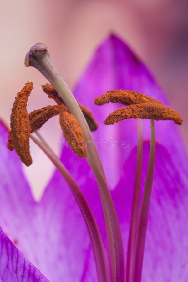 Belle fin vers le haut de macro image de fleur colorée vibrante de lis image stock