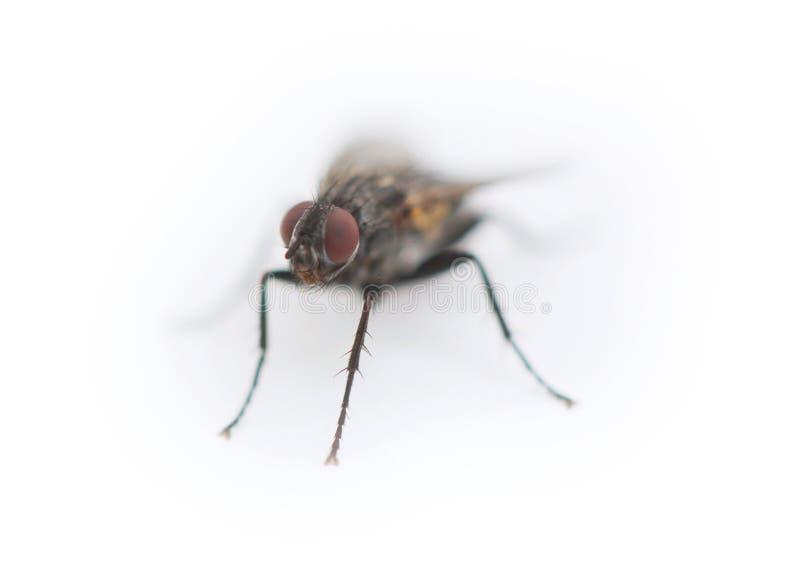 Belle fin vers le haut de macro tir de fourmi de charpentier de vol - image minimalistic avec la fourmi vue de l'avant d'isolemen photo stock