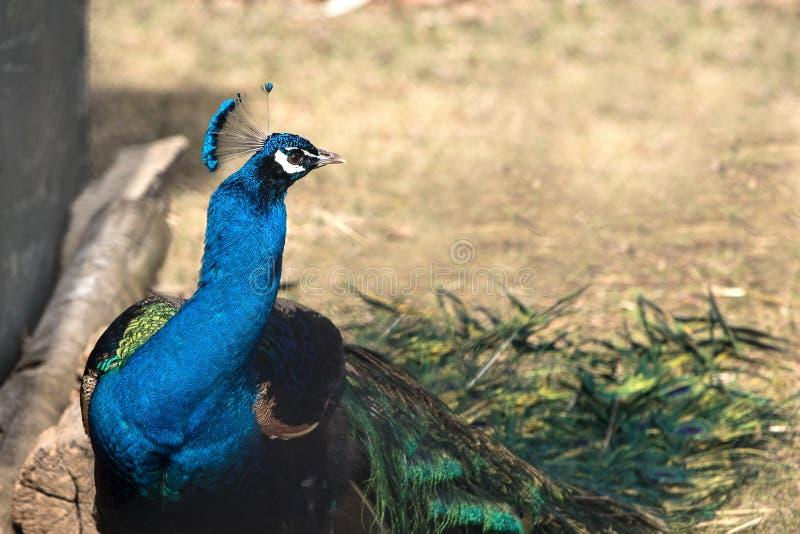 Belle fin vers le haut de tir d'un paon/de peafowl photo libre de droits
