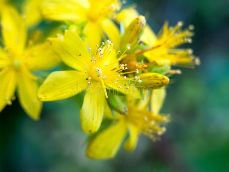 Belle fin vers le haut des pétales sauvages de fleur jaune images stock