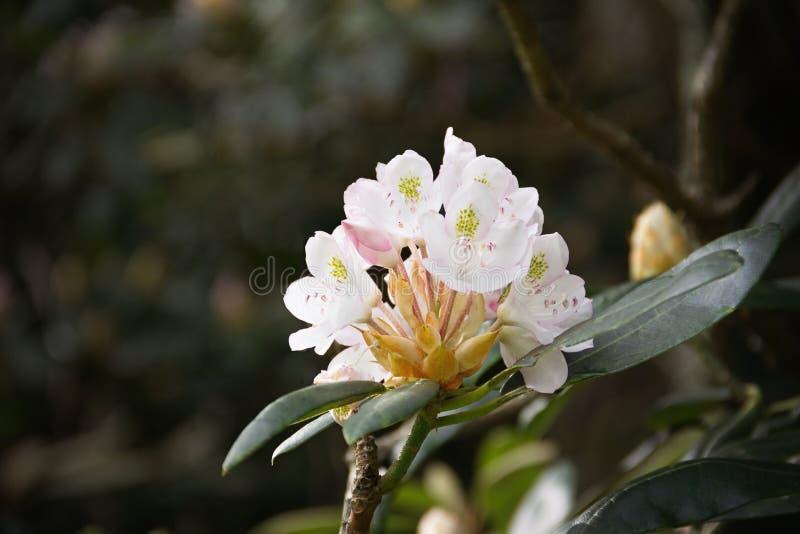 Belle fioriture bianche su un albero fotografia stock libera da diritti