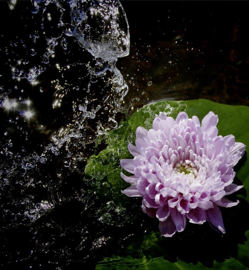 Belle fleur avec le watersplash photographie stock libre de droits