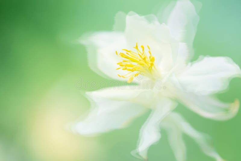 Belle fleur blanche avec de beaux pétales sur un fond sensible Fleur d'ancolie photo libre de droits