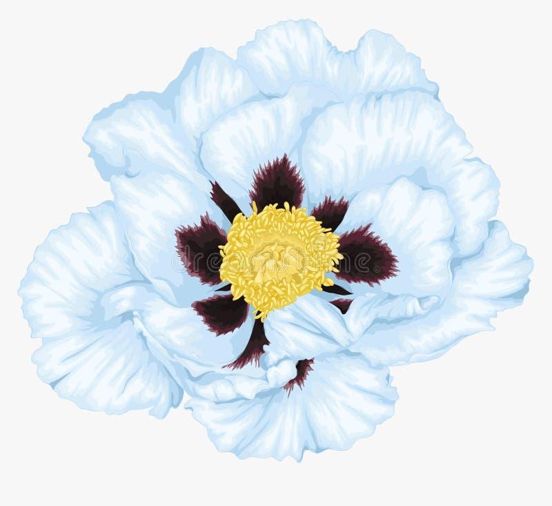 Belle fleur blanche d'arborea de Paeonia d'usine (pivoine d'arbre) d'isolement sur le blanc illustration stock