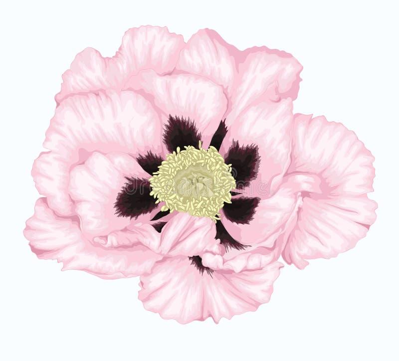 Belle fleur blanche d'arborea de Paeonia d'usine (pivoine d'arbre) d'isolement sur le blanc illustration de vecteur