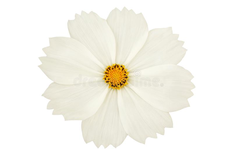 Belle fleur blanche de cosmos d'isolement sur le fond blanc photos stock