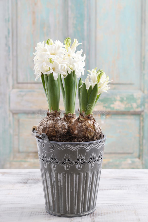 Belle fleur blanche de jacinthe images libres de droits