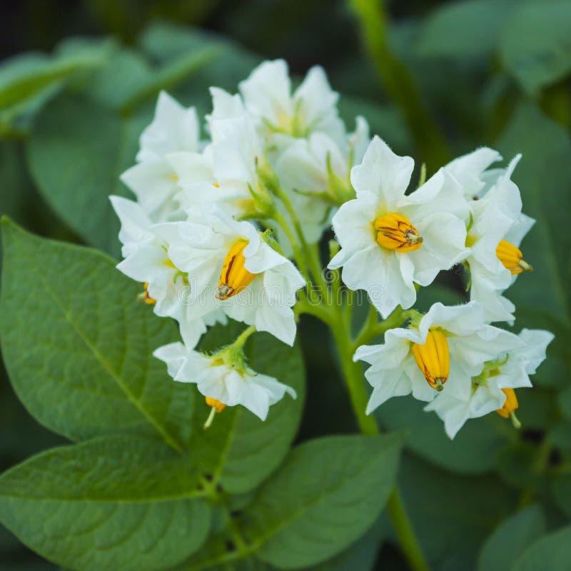 belle fleur blanche de pomme de terre image stock image du photographie fleurs 56865833. Black Bedroom Furniture Sets. Home Design Ideas