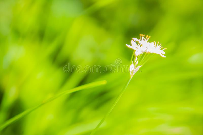 Belle fleur blanche de tuberosum d'allium (ciboulette d'ail, ail oriental, ciboulette asiatique, ciboulette chinoise, poireau chi photos libres de droits