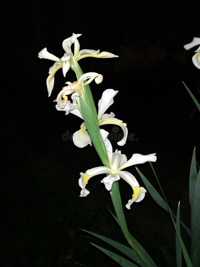 Belle fleur blanche la nuit photos libres de droits