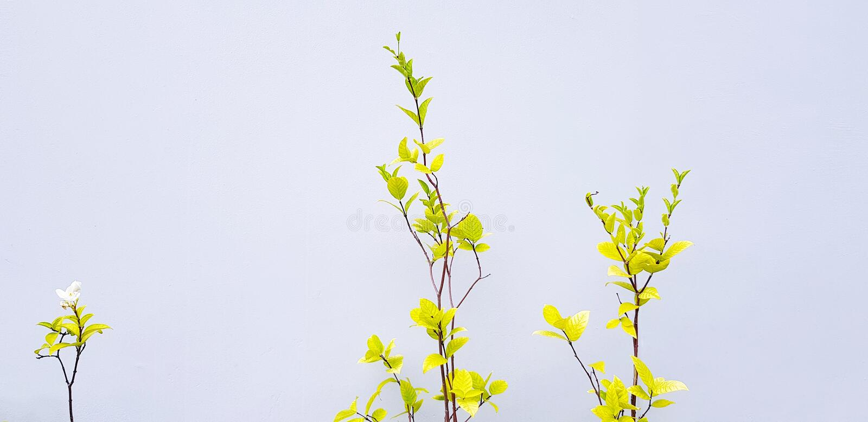 Belle fleur blanche ou mok aux feuilles vertes et branche isolée sur fond de mur en ciment gris photo stock