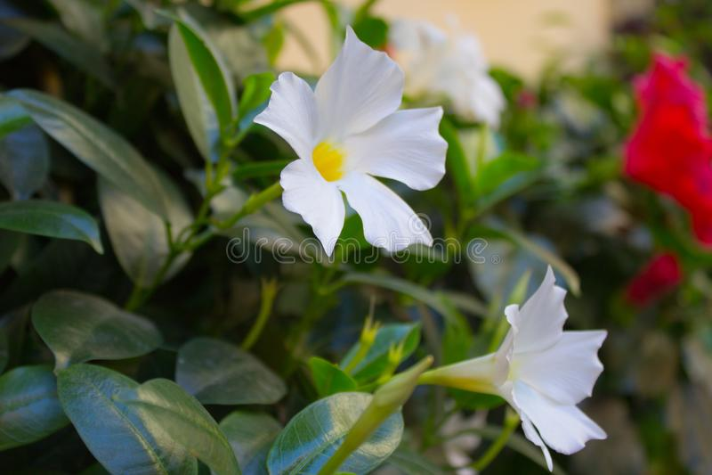Belle fleur blanche sur la rue de ville image stock