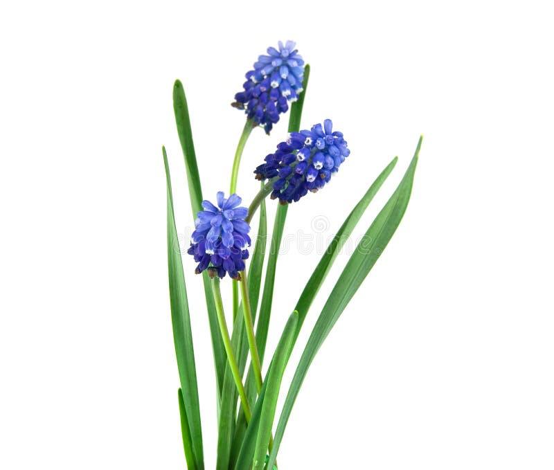 Fleur Bleue Sur Un Fond Blanc Photo Stock