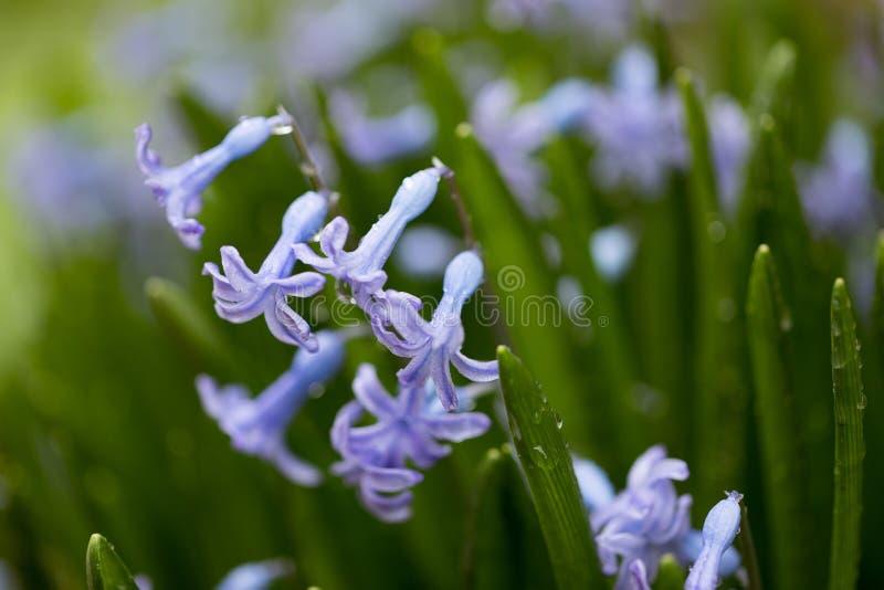 Belle fleur bleue fraîche et jeune dans des baisses de rosée photo libre de droits